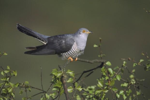 Cuckoo-_Mark-Hamblin_Getty-silver-birch-Derbyshire_623-8b2ed58