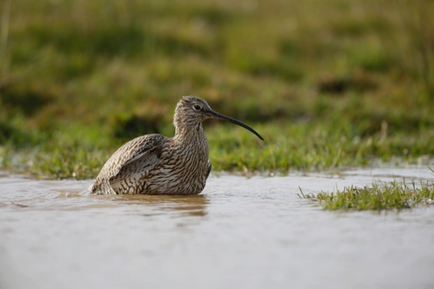 The curlew has 27 per cent of its population in the UK © Andy Hay