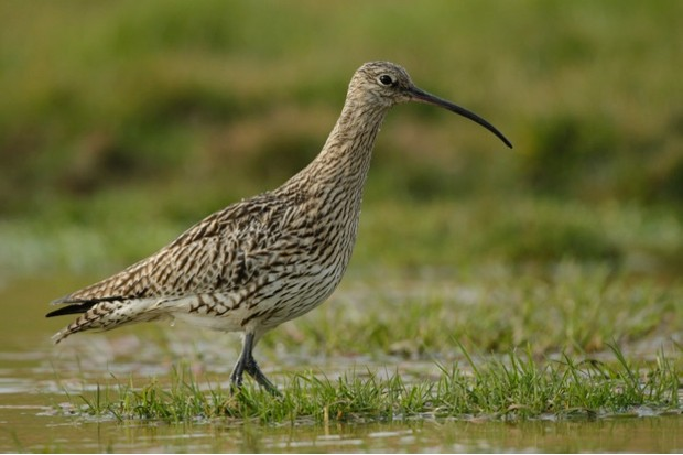 Curlew Numenius arquata, walking in shallow water, Geltsdale RSPB reserve, Cumbria, England, May