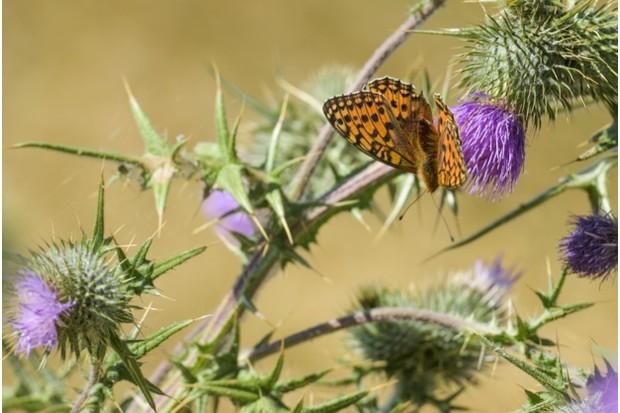 Dark green fritillary butterfly in the White Peak. © Michael Scott & Caters