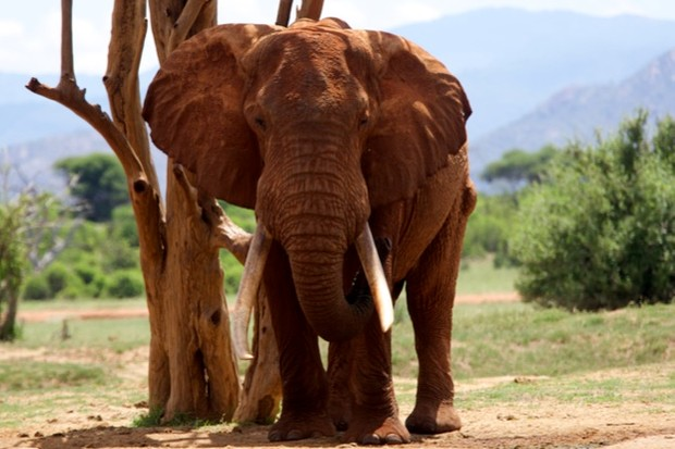 Tusker elephants have tusks weighing more than 45kg. There are thought to be only 21 tuskers left in east, central and southern Africa. © David Cayless/Getty