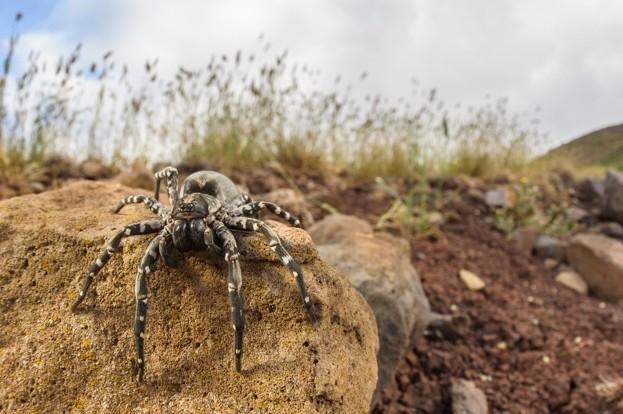 Deserta's wolf spider (Hogna ingens), Deserta Grande Island (Madeira, Portugal)