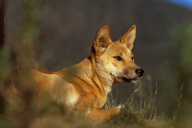 The dingo was transported to Australia from mainland Asia between 3,500 and 4,000 years ago. © Auscape