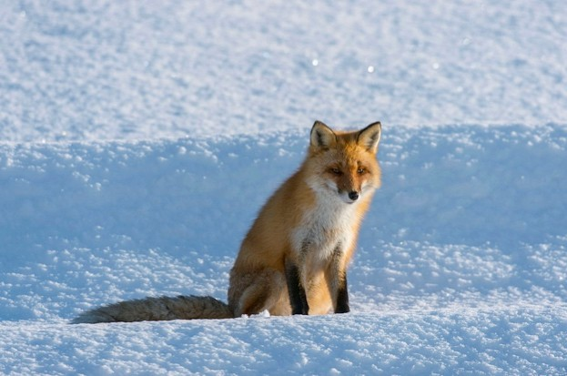 JAPAN - 2016/02/02: A red fox (Vulpes vulpes) is sitting on snow in the winter in Abashiri Shiretoko National Park (UNESCO World Heritage Site), Shiretoko Peninsula on Hokkaido Island, Japan. (Photo by Wolfgang Kaehler/LightRocket via Getty Images)