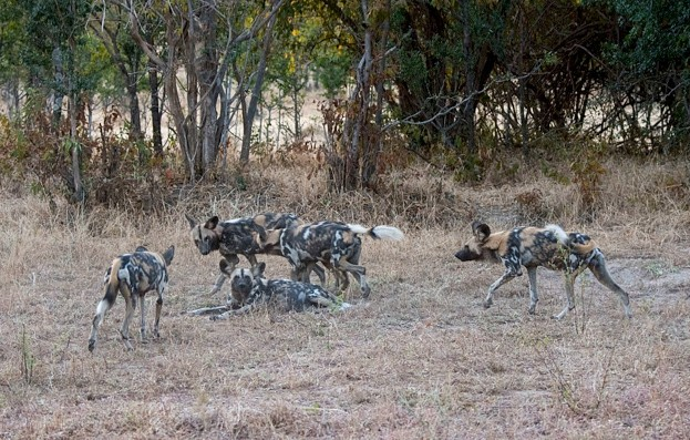 ZAMBIA - 2016/06/01: African wild dogs (Lycaon pictus) in South Luangwa National Park in eastern Zambia. (Photo by Wolfgang Kaehler/LightRocket via Getty Images)
