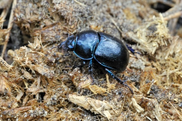 A dor beetle, one of the dung beetle species in the UK, on horse faeces. © Arterra/UIG/Getty