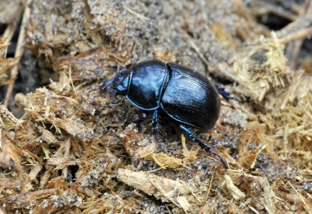Dung beetle populations are being killed off by cattle