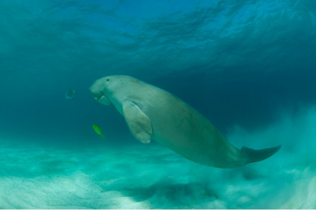Dugong (Dugong dugon) in the seagrass bed shadowed by a trevally. Dimakya Island, Palawan, Philippines