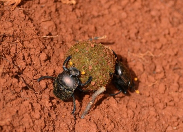 Dung-beetles_Fiona-Van-Kampen-2-753b0ed