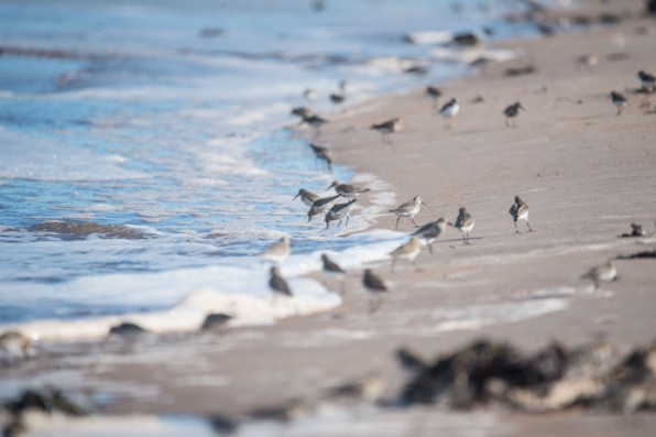 How to identify UK waders