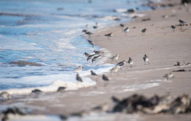 Dunlin foraging © John Lawson / Getty