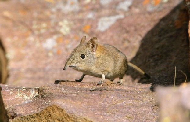 Elephant-shrew_Heinrich-van-den-Berg_Getty-Marakele-National-Park-SA_623-05d4caf