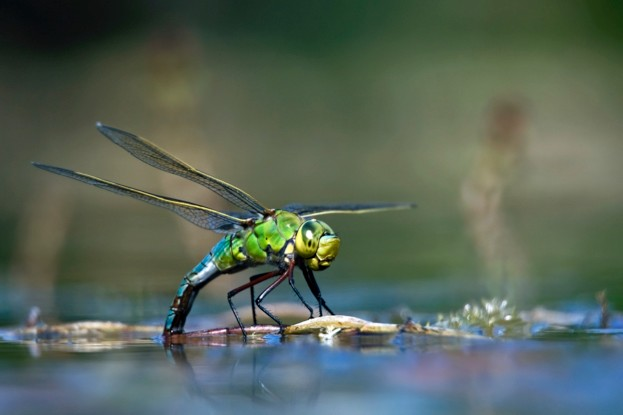 Female Emperor Dragonfly / Blue Emperor (Anax imperator) laying eggs in water of pond