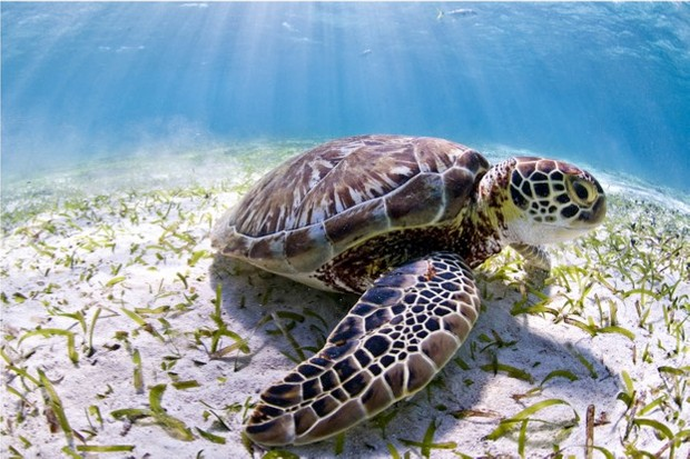 The Belize reef is home to three kinds of marine turtles, endangered green turtles, like this one, as well as critically endangered hawksbills and vulnerable loggerheads.  WWF campaign website, press release and social media channels only. 3 years. 3rd parties can only used in conjunction with explicitly mentioning WWF and World Heritage Campaign. No merchandising use.