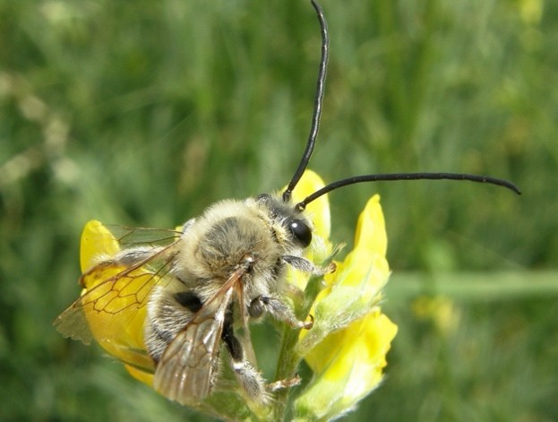 The long-horned bee was the winning 'bug' in England © Steven Falk