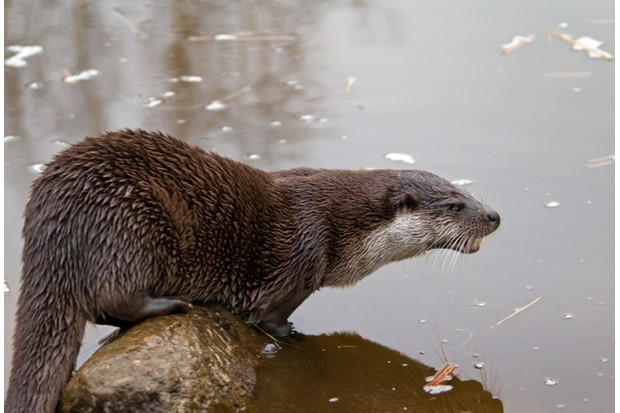 Europese otter (Lutra lutra) op rots in rivier European river otter (Lutra lutra) on rock in river