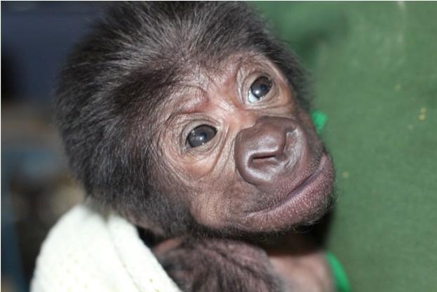 Female-gorilla-born-at-Bristol-Zoo-12022016_623-8280f0c