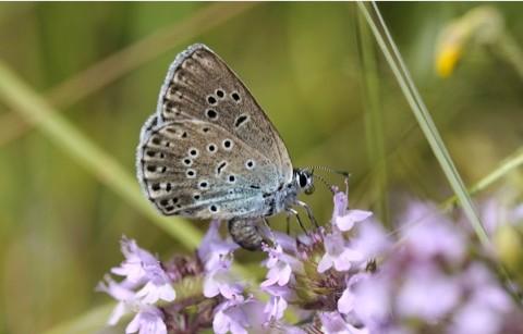 Female-large-blue_National-Trust-Images-Ross-Hoddinott_480-5e44382