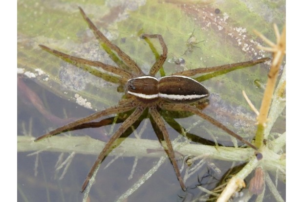 The favourite 'bug' in Wales was the fen raft spider. © Steven Falk
