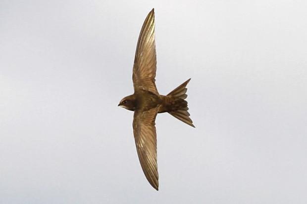 Flying-swift_623-f1abf2d