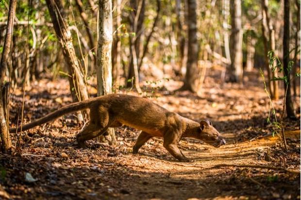 Fossa (Cryptoprocta ferox) photographed in Berenty, Madagascar