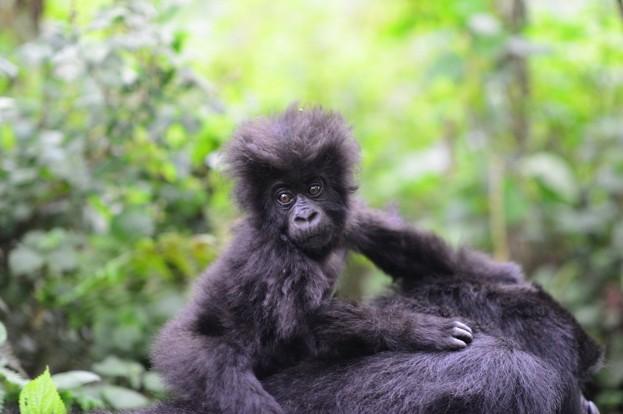 Fossey-Fund-MountainGorillaInfant4_623-1dab60c