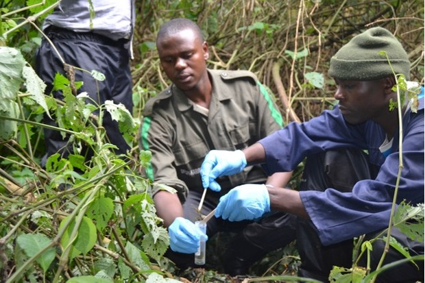 Fossey20Fund20dung20collection20DNA_62-9ff7239