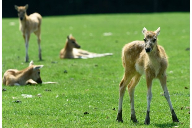 Four20of20the20rare20Pere20David27s20deer20fawns20at20ZSL20Whipsnade20Zoo2028c29TonyMargiocchi_ZSL_623-3b4e75d