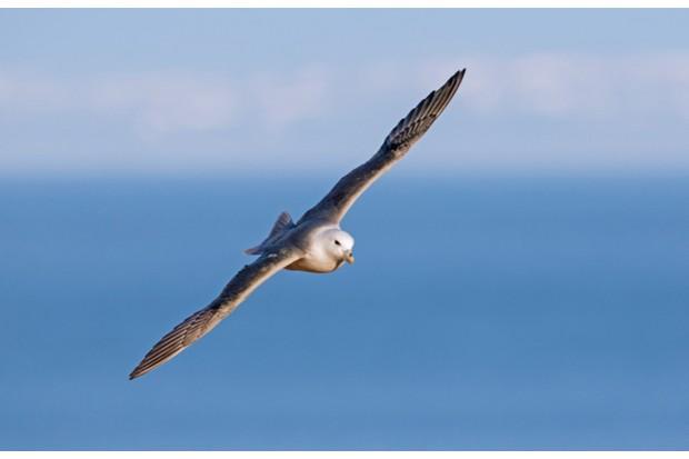 Northern fulmar / Arctic fulmar (Fulmarus glacialis) soaring over the sea