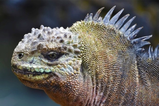 Galapagos-iguana-by-Derek-Goss_623-cf3f02a