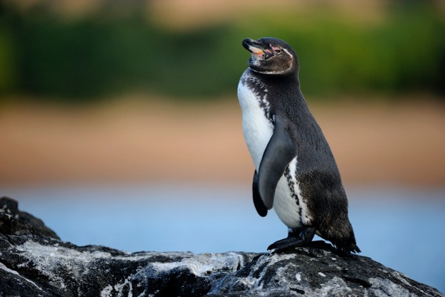 The Galapagos penguin is the only species found north of the Equator ©Wolfgang Kaehler / Getty