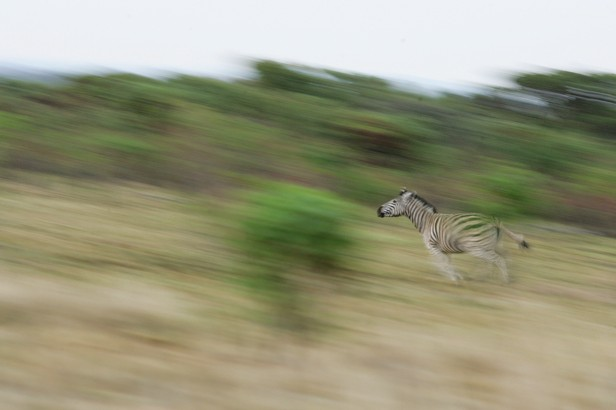Zebras can reach speeds of up to 65kmph © Hoberman Collection / UIG / Getty