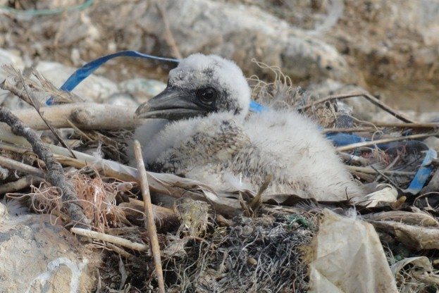 Gannet-chick-in-plastic-incorporated-nest-credit-RSPB-Cymru_623-c6ce961