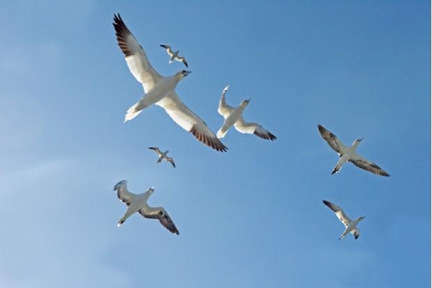 Gannets_ferry_David20Tipling_623-fd175ae
