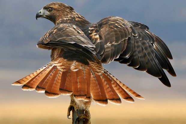 Red-tailed hawks are one of many migrating species © Rich Legg / Getty