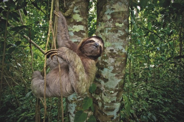 The three -toed sloth is active during the day and only eats leaves from trees and lianas. They move to a new tree often enough to balance their diet, or about once every 1. 5 days. Sloths (here the three-toed) are hunted by big cats such as pumas and jaguars, and birds of prey © Danita Delimont / Getty