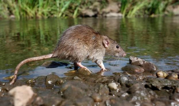 Brown rat (captive) © MikeLane45/iStock