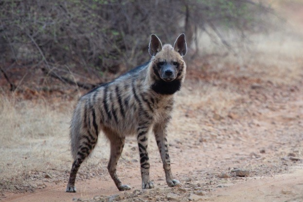 A striped hyena has been seen with a wolf pack in Israel. © pum_eva/iStock