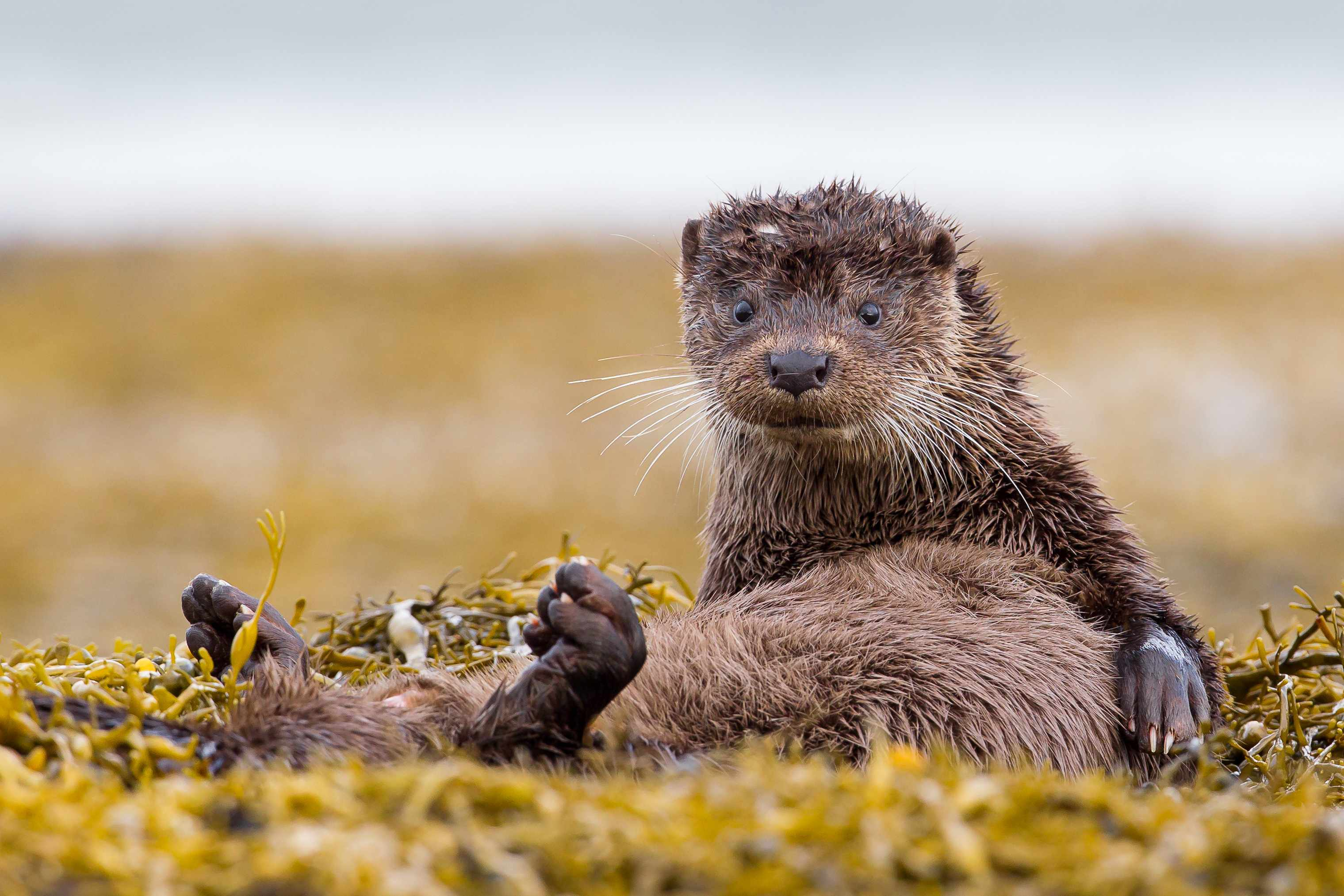 Eurasian otter on Mull. © Mark Medcalf/Getty