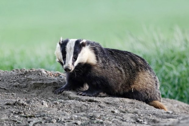Culling of badgers in the Republic of Ireland will be replaced with vaccination, but the government has not said when control efforts will stop. © MikeLane45/iStock