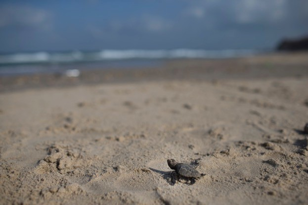 Loggerhead turtle hatchlings are at risk from light pollution on tourist beaches. © iStock