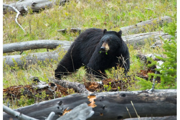 Black bears are omnivores and their diet varies according to season and location © Bird Images / Getty