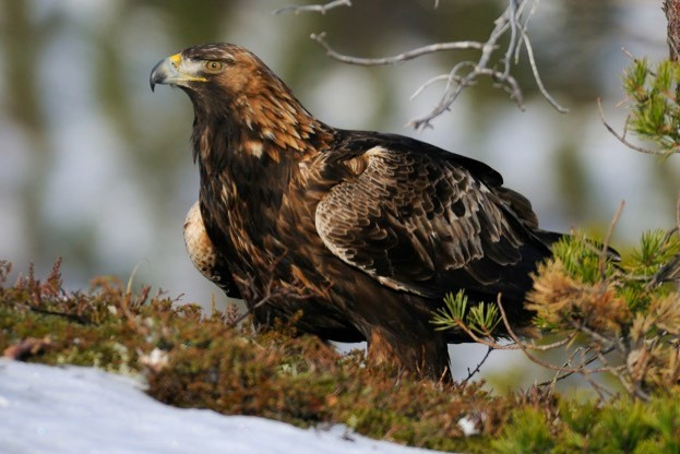 Norway has a stable population of 950 pairs of golden eagles. © Harry-Eggens/iStock