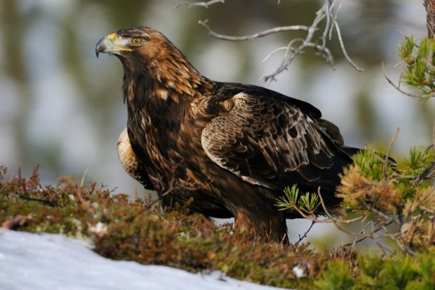 Norway has a stable population of 950 pairs of golden eagles. ©Harry-Eggens/iStock
