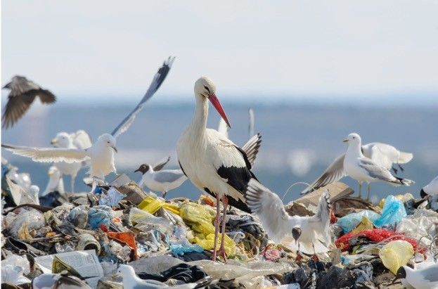 Some white stork populations have ceased to migrate, instead feeding year-round on rubbish dumps. © iStock