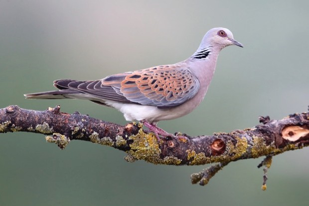 Turtle dove, Streptopelia turtur, single bird on branch, Bulgaria, May 2013
