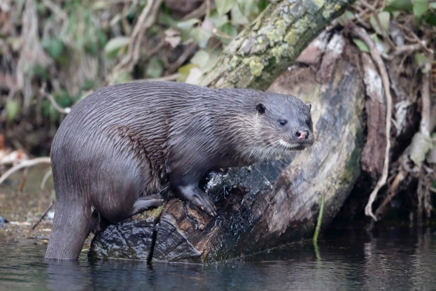 Otter populations in our rivers have recovered recently partly because of improved water quality. ©MikeLane45/iStock