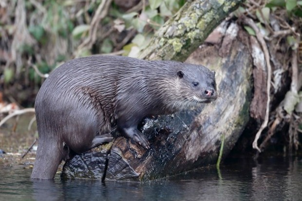 Otter populations in our rivers have recovered recently partly because of improved water quality. © MikeLane45/iStock