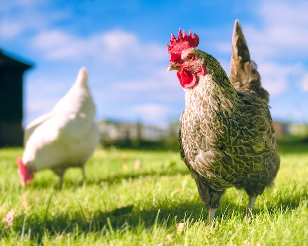 Free range chickens. The new development may be a step on the way to recreating 'Chickenosaurus'. © George Clerk/iStock