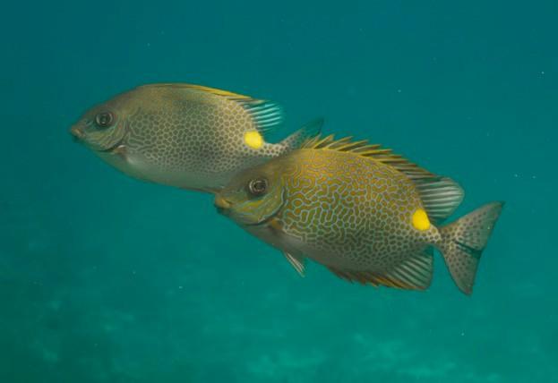 Golden rabbitfish (Siganus guttatus) at Similan island, Thailand